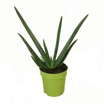 Aloe Vera Planta – Maceta 12cm. – Altura aprox. 30cm. – Planta viva