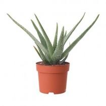 Aloe Vera Planta Natural Pequeña Con Maceta – Planta Curativa y Medicinal