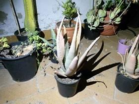 Aloe Vera ,Plantas habitación ,Planta medicinal 30cm